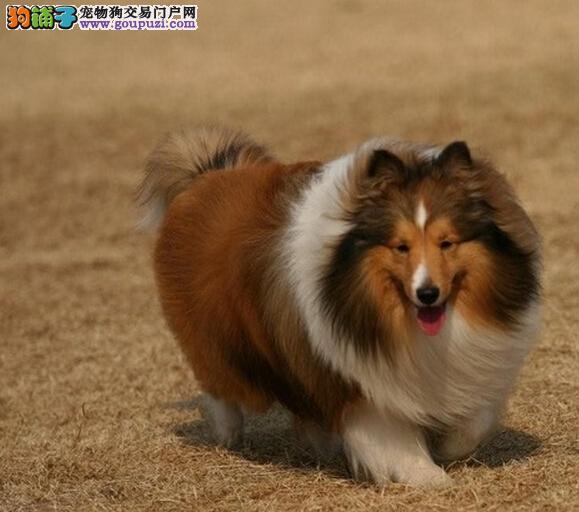 上海市出售喜乐蒂犬 包纯种健康 可刷卡送用品 包养活