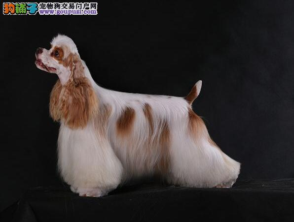 贵阳繁殖基地出售赛级品相可卡幼犬 英系大耳朵可卡犬