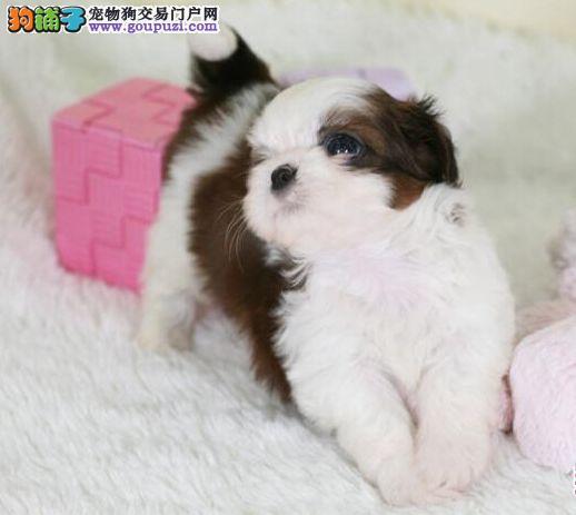 石家庄出售美美哒西施犬 颜色齐全 种类齐全 欢迎咨询