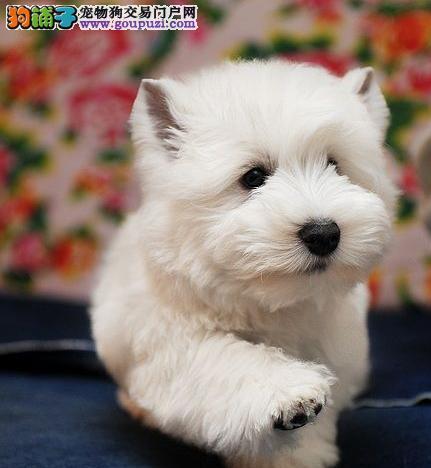 外观可爱毛质硬而且滑顺的西高地犬宝宝天津优惠直销