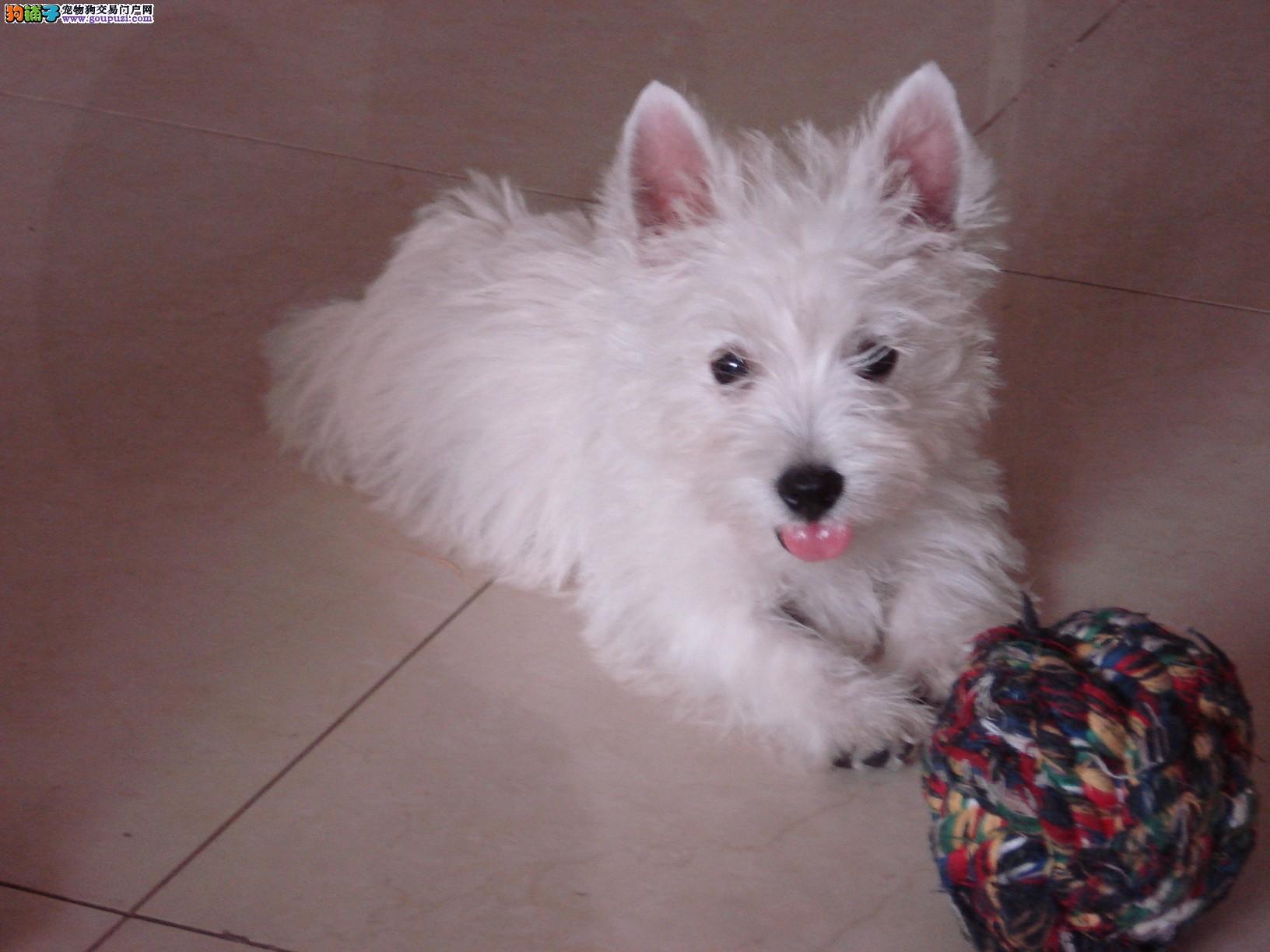 福州出售出售纯种白色聪明小型西高地犬