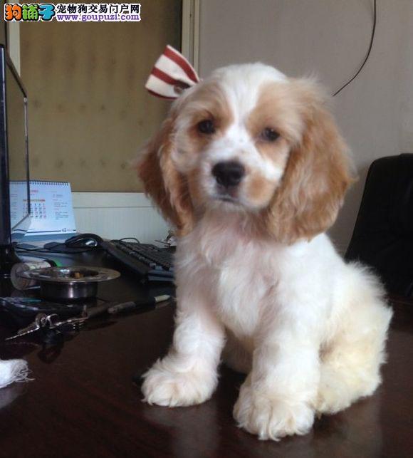 西安专业的可卡犬舍终身保健康签正规合同请放心购买