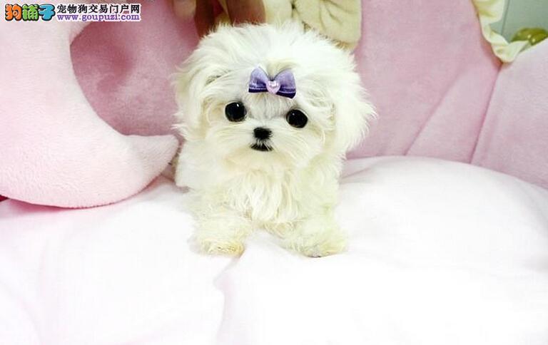 高品质的马尔济斯幼犬出售了 疫苗做完 质量三包1