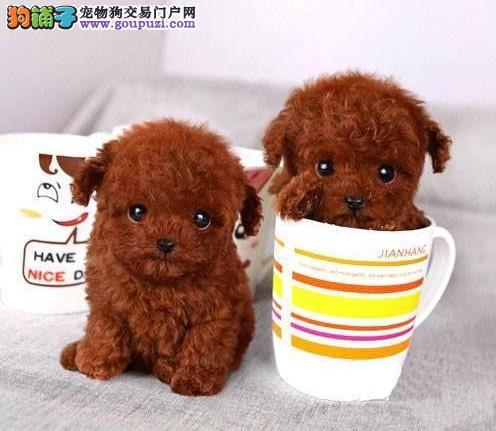 高品质茶杯犬宝宝、国际血统品质保障、三包终生协议1