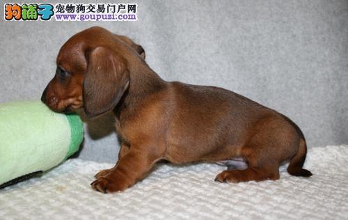 北京赛级迷你短毛长毛腊肠犬幼犬宠物狗出售健康保证