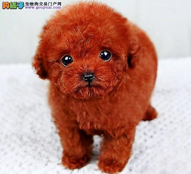 宁波泰迪犬多少钱一只