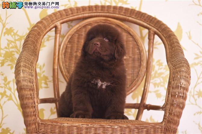 济南自家养殖纯种纽芬兰犬低价出售购犬可签协议