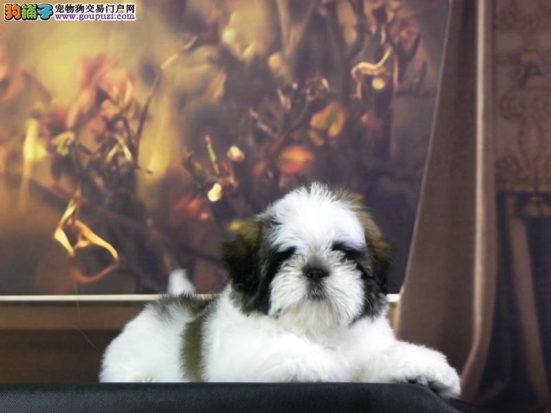 吉林繁育出售精品小体西施犬尊贵犬种高端伴侣犬玩赏犬