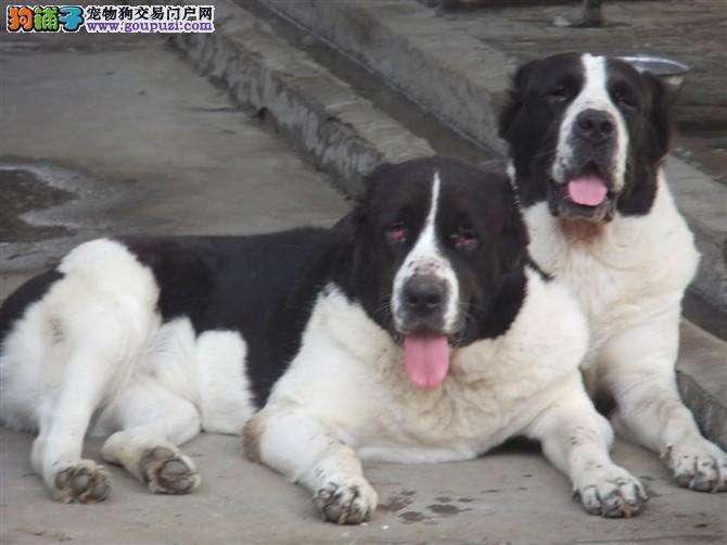 自家繁殖中亚牧羊犬出售公母都有国际血统认证