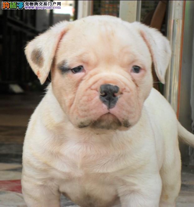 极品美国斗牛犬幼犬 CKU认证保健康 购犬可签协议