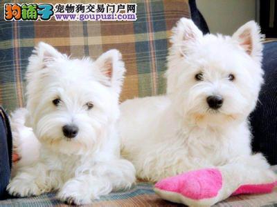 纯种西高地出售中 保纯保健康 CKU认证血统 可视频看狗3