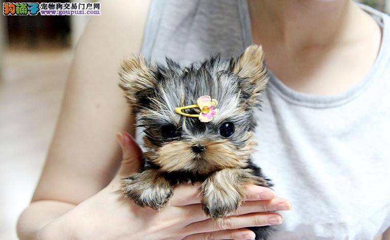长沙哪里有约克夏犬出售 纯种约克夏幼犬好多钱一只