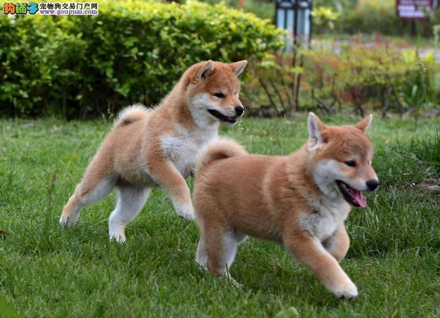 正宗日系小柴犬出售中 多只可选 签合同 包健康三个月