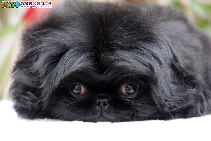 小短腿京巴犬幼犬北京狗北京犬白色大眼睛公母都有多只2