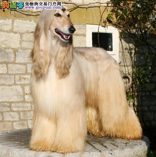 家养赛级阿富汗猎犬宝宝品质纯正专业品质一流