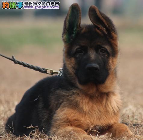 西安出售狼狗颜色齐全公母都有三针疫苗齐全