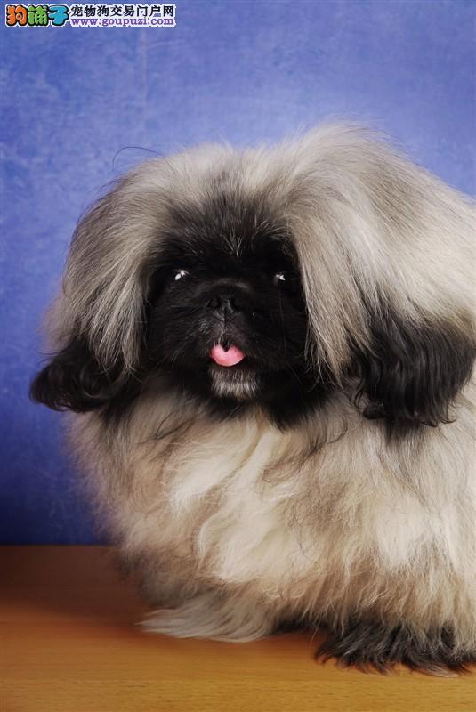 CKU认证犬舍 专业出售极品 京巴幼犬CKU认证品质绝对保障3