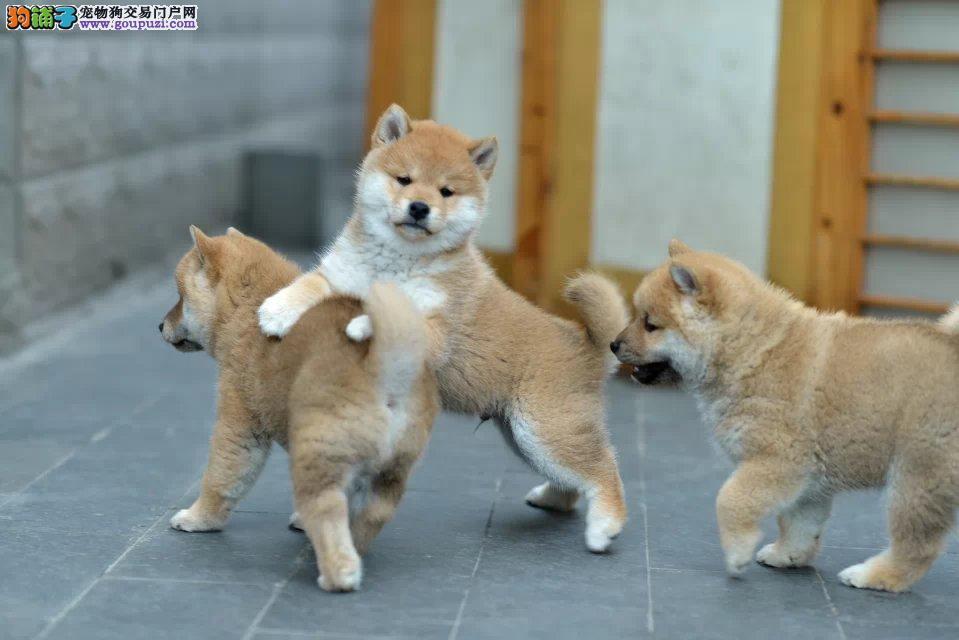 铁包金柴犬 纯种日本柴犬 赤红色柴犬 多只可选