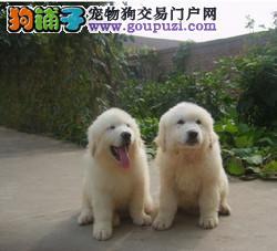 比利牛斯山犬幼犬 大白熊犬 重庆万盛区出售