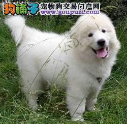 极品纯正的大白熊幼犬热销中最优秀的售后