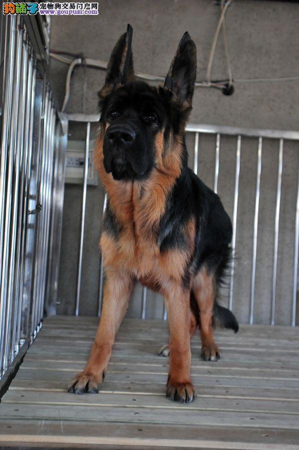 火爆出售血统纯正的苏州狼狗微信咨询看狗狗照片