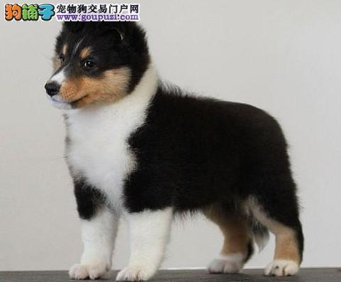 极品纯种喜乐蒂犬在这里、优惠纯种和健康、可签协议4