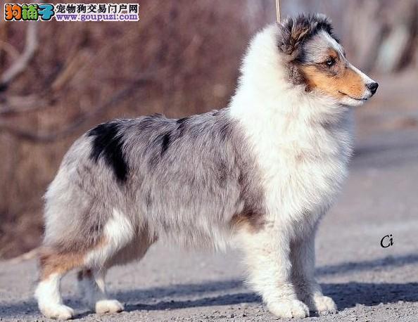 极品纯种喜乐蒂犬在这里、优惠纯种和健康、可签协议2