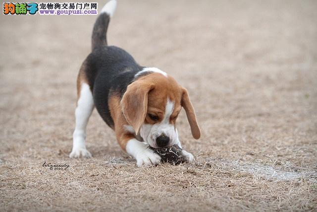 阜阳市哪里有卖比格犬幼犬 包纯种健康 协议质保 质量三包
