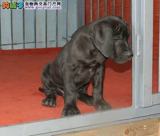 大丹犬西安最大的正规犬舍完美售后欢迎爱狗人士上门选购1