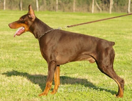 焦作纯种铁包金杜宾犬出售迷你杜宾犬多只幼犬可上门挑