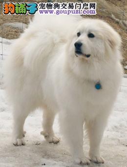 权威机构认证犬舍 专业培育大白熊幼犬喜欢来电咨询