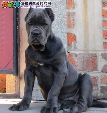 重庆卡斯罗犬舍出售高端纯血统重头版大骨量卡斯罗幼犬