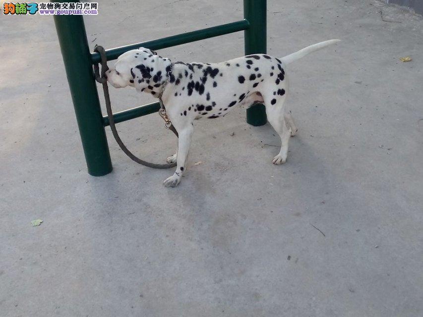 广州哪里有卖斑点狗 大麦丁幼犬哪里有 斑点狗图价格
