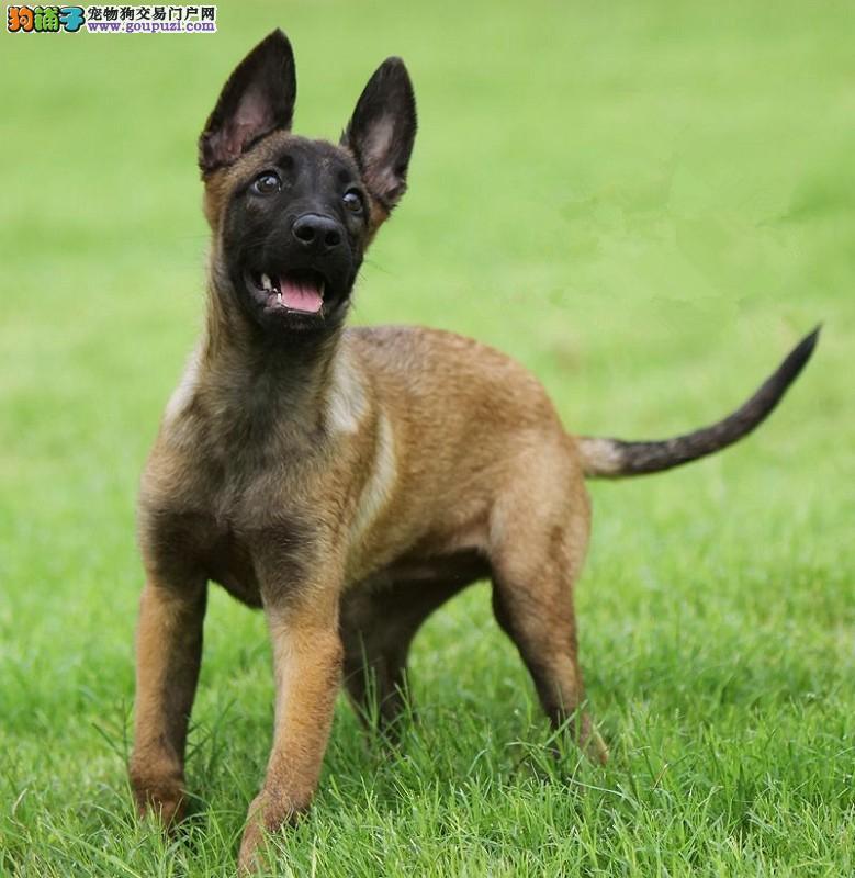 CKU犬舍认证武汉出售纯种马犬外地可空运已驱虫1