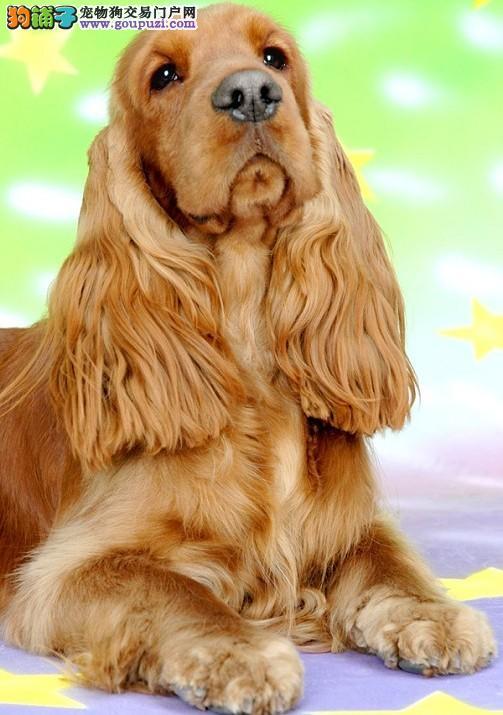 上海狗场直销美系可卡犬英系可卡幼崽 包健康 包纯种