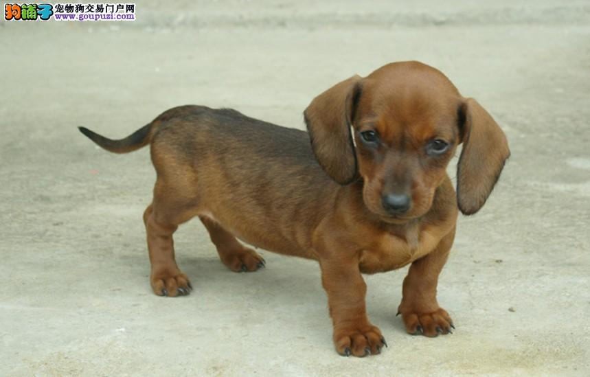 沈阳繁殖高品质腊肠犬标准小短腿哪里有卖 大耳朵机灵可爱