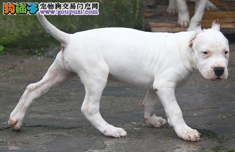 杜高犬幼犬出售 健康纯种 带证书可刷卡 终身质保