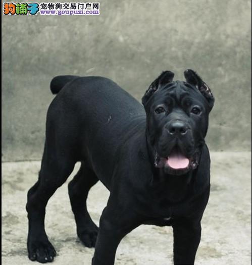 常德纯种意大利卡斯罗出售世界第一猛犬霸气优秀护卫犬