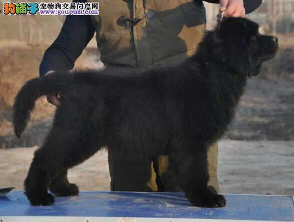 纽芬兰犬最大的正规犬舍完美售后微信咨询看狗狗视频