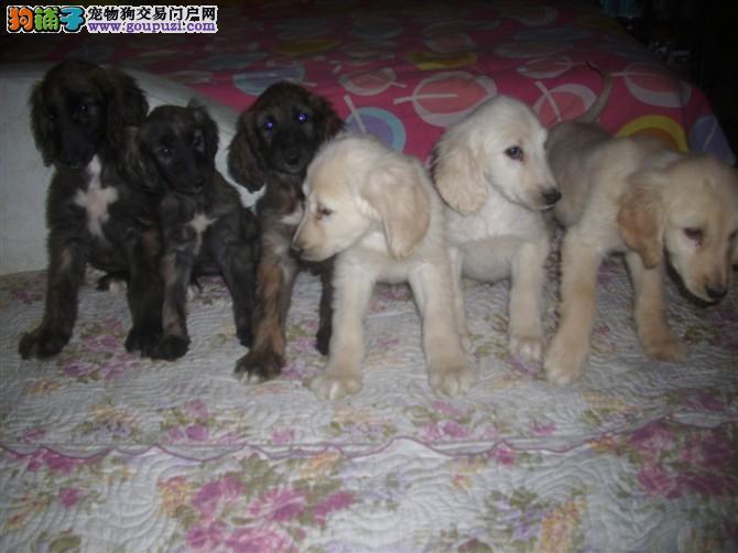 CKU认证犬舍出售高品质阿富汗猎犬狗贩子请勿扰3