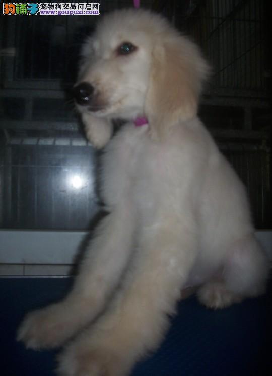 CKU认证犬舍出售高品质阿富汗猎犬狗贩子请勿扰2