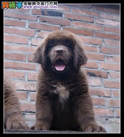 纽芬兰犬大连最大的正规犬舍完美售后大连地区可包邮1