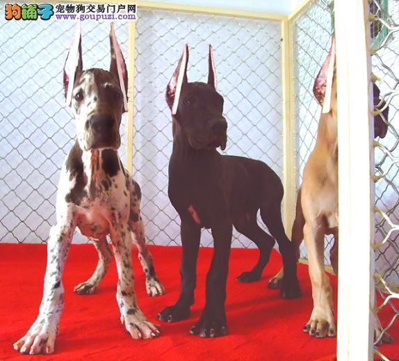 乌鲁木齐出售纯种大丹犬 签订正式协议 保证质量