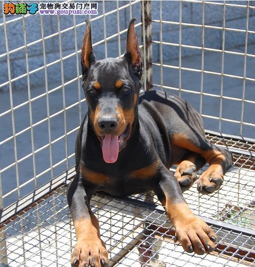 德系美系杜宾幼犬哪里有卖!红的黑的都有!要的联系!