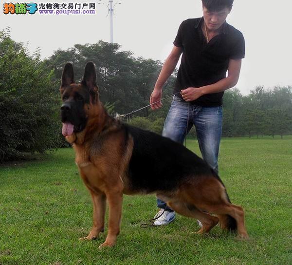广东实体店出售精品狼狗保健康看父母照片喜欢加微信