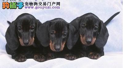 完美品相血统纯正广东腊肠犬出售微信选狗直接视频