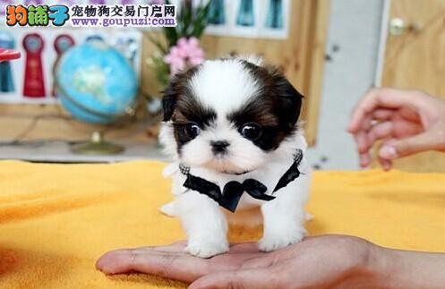 青岛最大犬舍出售多种颜色西施犬质保协议疫苗驱虫齐全