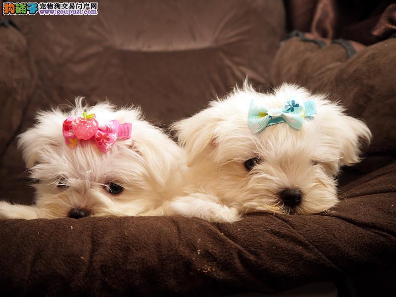 马尔济斯犬 最漂亮的小型犬高品质好血统