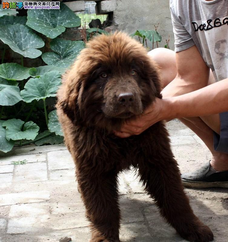 精品纯种纽芬兰犬出售质量三包赠送全套宠物用品