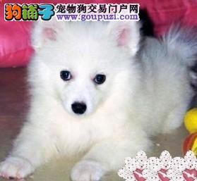 出售正宗血统优秀的楚雄州银狐犬购犬可签协议